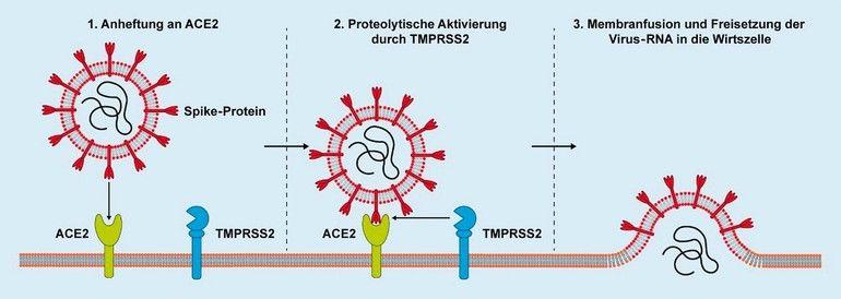 Abbildung_1_Endozytose.jpg